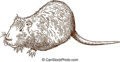 engraving drawing illustration of nutria or coypu - Vector...