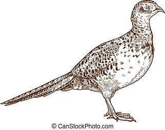 engraving drawing illustration of pheasant female - Vector ...