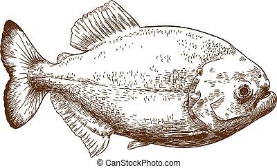 engraving drawing illustration of piranha - Vector antique...