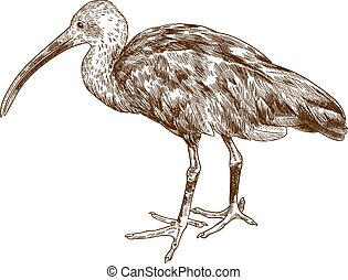 Vector antique engraving drawing illustration of scarlet ibis isolated on white background