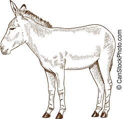 Vector antique engraving drawing illustration of somali wild ass isolated on white background