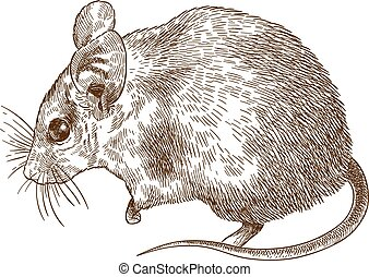 engraving drawing illustration of spiny mouse - Vector...