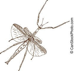 Vector antique engraving drawing illustration of stick mantis isolated on white background