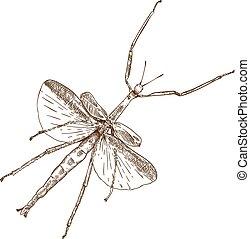 engraving drawing illustration of stick mantis - Vector...
