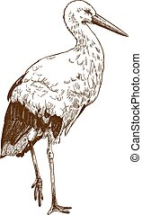 engraving drawing illustration of stork - Vector antique...