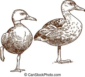 engraving drawing illustration of two ducks