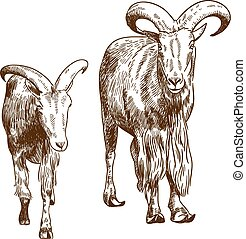 engraving drawing illustration of two mountain goats -...
