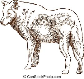 engraving drawing illustration of wolf - Vector antique...