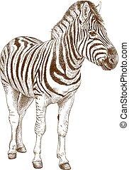 engraving illustration of african zebra - Vector antique ...