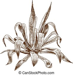 engraving illustration of agave - Vector antique engraving ...