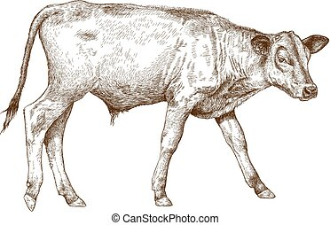 Vector antique engraving illustration of calf isolated on white background