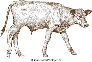 engraving illustration of calf - Vector antique engraving ...