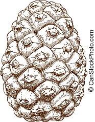 engraving illustration of cedar con - Vector antique...