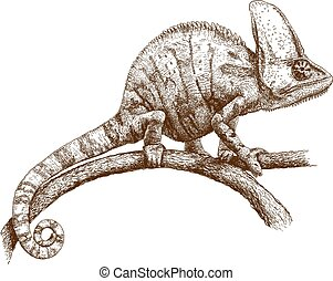 engraving illustration of chameleon - Vector antique...