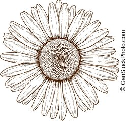 engraving illustration of chamomile - Vector antique ...
