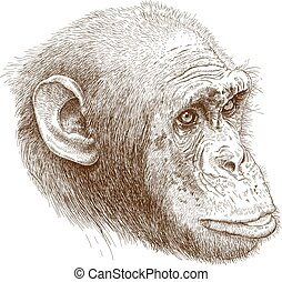 engraving illustration of chimp muzzle - Vector antique ...