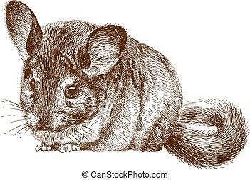 engraving illustration of chinchilla - Vector antique...