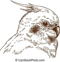 Vector antique engraving illustration of cockatiel head isolated on white background