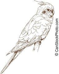 engraving illustration of cockatiel - Vector antique ...
