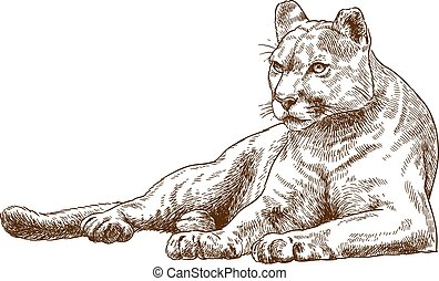engraving illustration of cougar - Vector antique engraving...