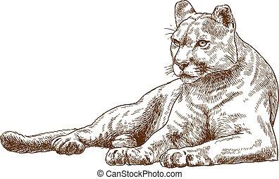 engraving illustration of cougar - Vector antique engraving ...