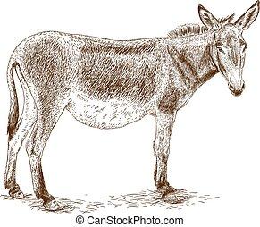 Vector antique engraving illustration of donkey isolated on white background