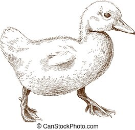 engraving illustration of duckling - Vector antique...