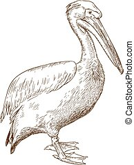 engraving illustration of great white pelican