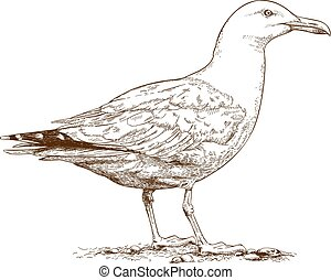 Vector antique engraving illustration of gull isolated on white background