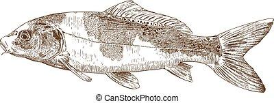 Vector antique engraving illustration of koi carp isolated on white background