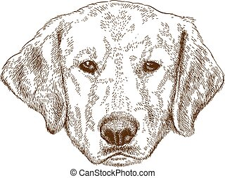 Vector antique engraving illustration of labrador head isolated on white background