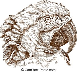 macaw head - Vector antique engraving illustration of macaw...