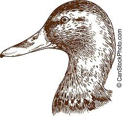 engraving illustration of mullard duck head - Vector antique...