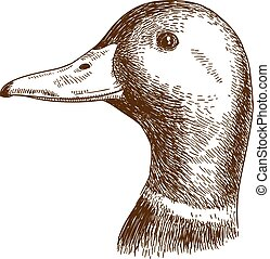 engraving illustration of mullard duck head - Vector antique...