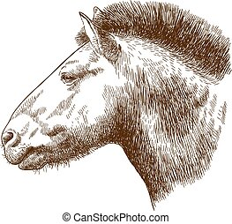 engraving illustration of Przewalskis horse head