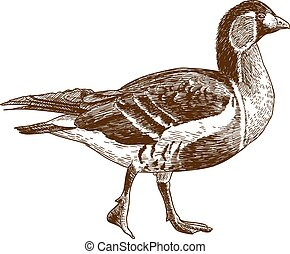 engraving illustration of red-breasted goose - Vector...