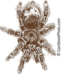 Vector antique engraving illustration of tarantula spider isolated on white background