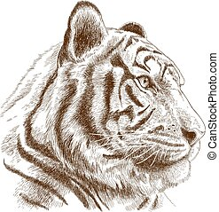 engraving illustration of tiger head - Vector antique...