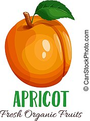 Vector apricot illustration