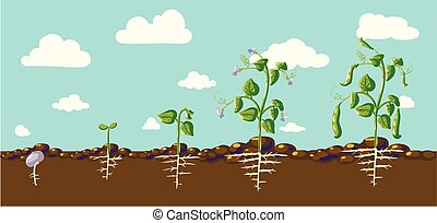 vector beans - haricot as a plant with details of the leaf,...