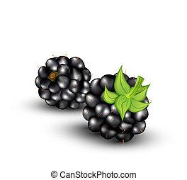 vector blackberries - vector blackberries on a white...