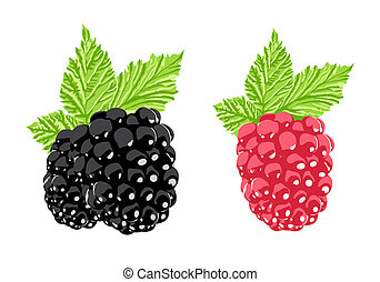 Vector blackberry and raspberry on white background