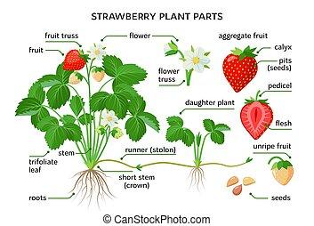 vector, botánico, dibujos, morphology., nombres, partes, ...