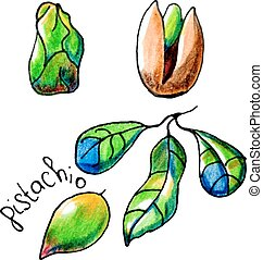 pistachio - Vector botanical illustration with an isolated ...