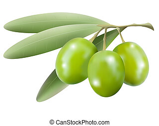 Vector branch of olive tree with olives isolated