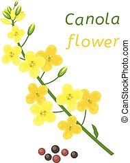 vector canola flower and rapeseeds isolated on white ...