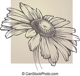 vector, chamomile, bloem, vrijstaand