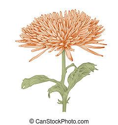 vector, chrysant, flower.