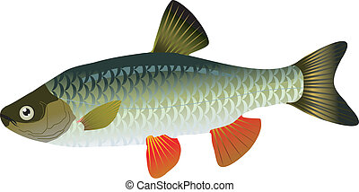 vector chub on a white background