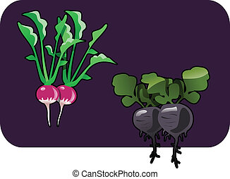 radish - Vector color illustration of a radish.
